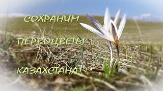 Сохраним первоцветы Казахстана!