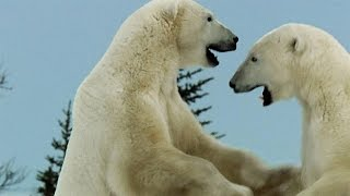 Polar Bear - Play - Fighting
