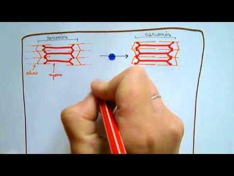 La diastase des muscles directs du ventre quest-ce que cest