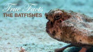 True Facts: BatFishes
