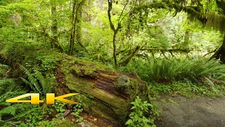 Hoh Rain Forest 4K Virtual Hike