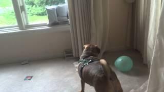Cute Dog Plays With Ballon