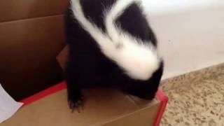 Cute Baby skunks and troubles growing up together