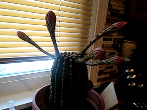 Cactus is about to bloom again. Was reminded about this video I took a few years ago.