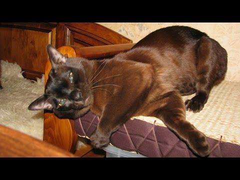 Бурма, Бурманская кошка, Уход и содержание, Породы кошек