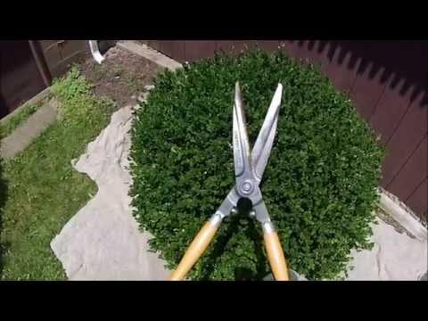 HOW TO: Hand shearing Boxwood shrubs