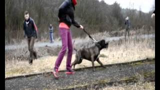 Bandog Kimo-two attackers /Mysterious Element kennel/