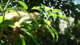 preview picture of video 'Monkey Jungle, Sosua/Cabarete,Dominican Republic: video of monkeys playing with people.'