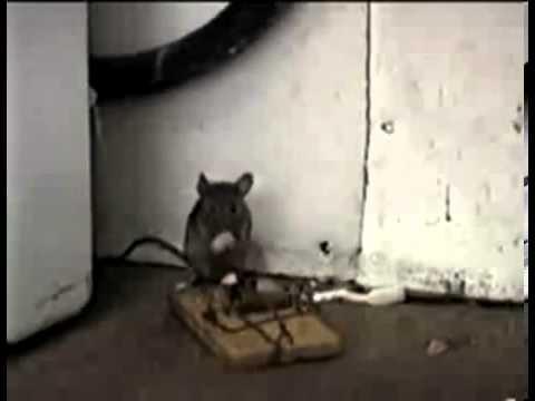 Chiếc bẫy chuột tử thần