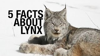 Five Fascinating Facts About Lynx