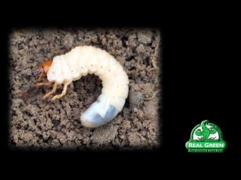 Mushroom parasito ng nilinang mga halaman