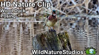 Wood Duck Pose (HD-Nature Clips)
