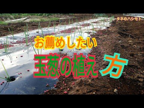 , title : '玉葱の植え方<簡略的方法> タネのハシモト