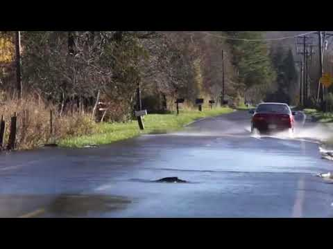 Lachse überqueren die Straße