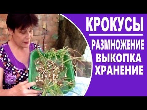 Как размножать крокусы  Когда выкапывать и как хранить крокусы