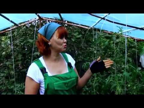 Болезни помидоров в теплице/скручиваются листья/вершинная гниль/фитофтороз