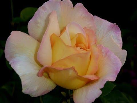 Чайно   гибридная роза Глория Дей Gloria Dei время задуматься о покупке