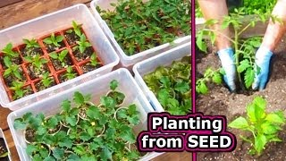 How To Start Tomato Seed Germinate Vegetable Plant Seeds Grow Garden Tomatoes