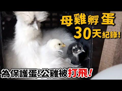 養雞孵蛋實錄!母雞爆打公雞