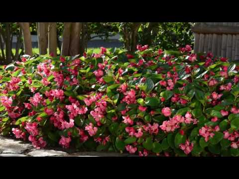 Megawatt Begonia from PanAmerican Seed thumbnail