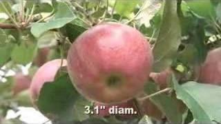 Cameo Apple On B.9, G.16, Amd M.9-337 Rootstocks