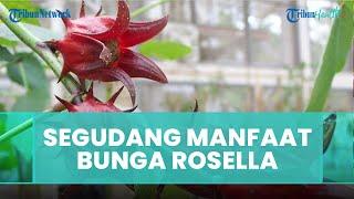 Berbagai Macam Manfaat Rosella, dari Cegah Penyakit Jantung hingga Turunkan Tekanan Darah Tinggi