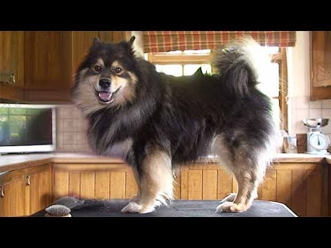 Dog Breed Video: Finnish Lapphund