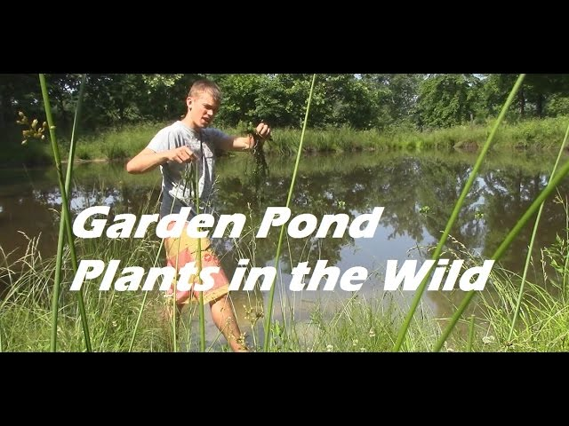 How to find Garden Pond Plants (aquarium plants) in a Wild Pond