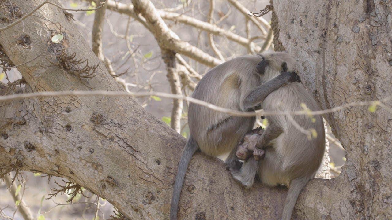 Трагический момент, когда скорбящая мать-обезьяна не может расстаться с умершим младенцем