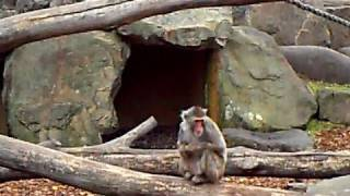 preview picture of video 'Monkey Business in City Park!'
