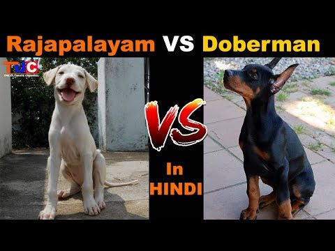 Rajapalayam VS Doberman, Which Is Better? : Dog Vs Dog : TUC