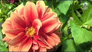 D Todo - Dalia. Flor mexicana