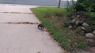 Pitbull puppy 6 weeks in training