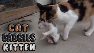 Momma Cat Carries Baby Kitten