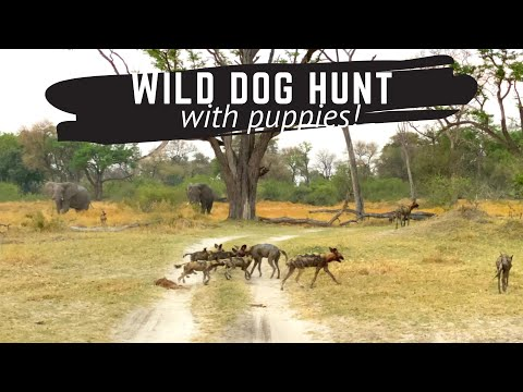 Wild Dog Pack Hunt with Brave Africa