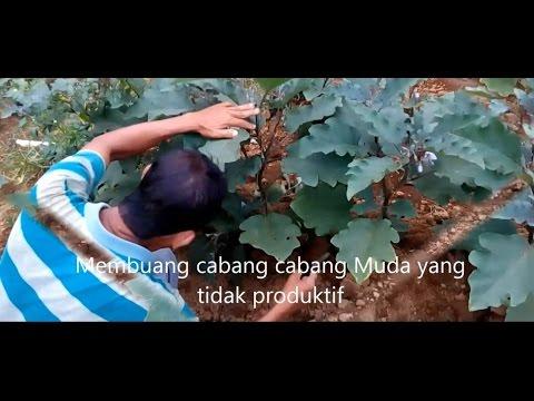 Video Cara menanam terong ungu