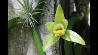 Орхидея Ваниль В Цвету!