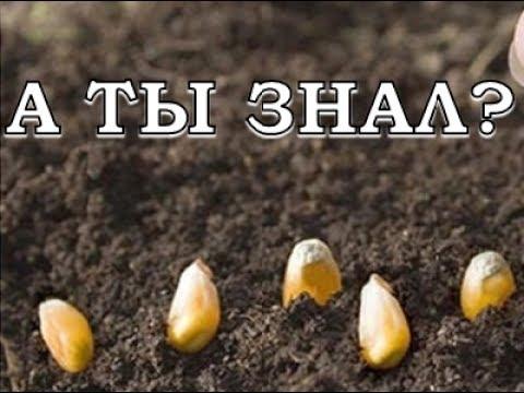 Выращиваем кукурузу шаг за шагом