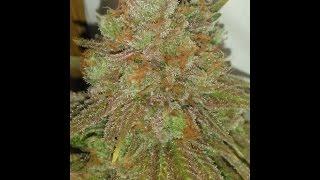 Huge cannabis plants in an indoor garden!