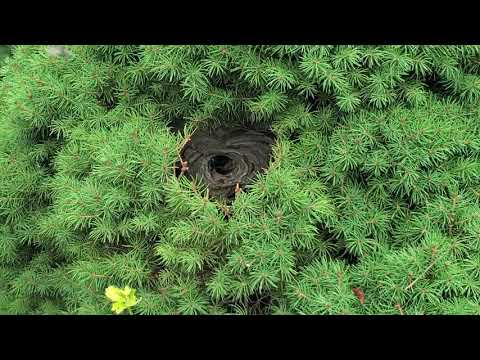 Realtor Discovers Large Bald-Faced Hornets Nest at Open House in Manchester, NJ