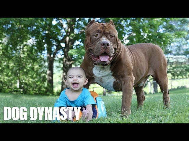 Giant Pit Bull Hulk & The Newborn Baby | DOG DYNASTY