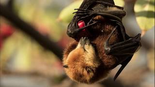 Help save one of the most endangered bats in the world