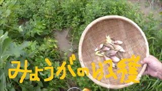 家庭菜園 蚊に刺されながら…ミョウガの収穫