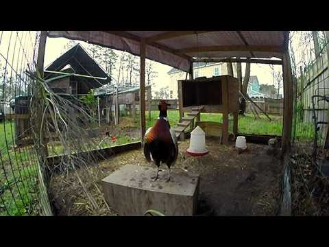 Video Ringneck Pheasant Courtship