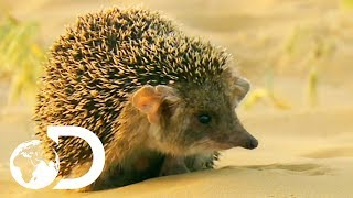 Cute But Vicious Hedgehog Attacks A Deadly Viper | Wildest Middle East