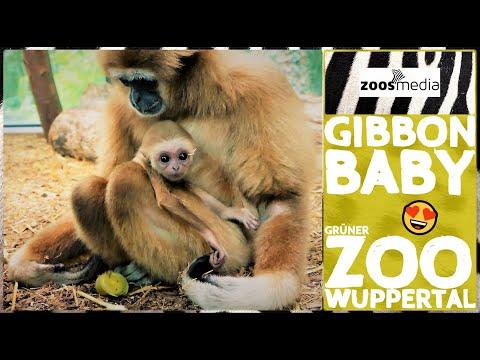 Film von Zoss.media: Nachwuchs bei den Gibbons