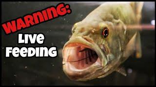 Top 5 AGGRESSIVE Fish I Have! (Live Feeding)