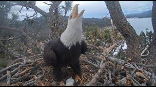 Big Bear Eagles ~ INTRUDER ALERT!! ✦ DEFEND & PROTECT! Intruder Follows Shadow! ✦ 1.20.20