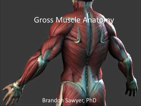 Gross muscle anatomy notes