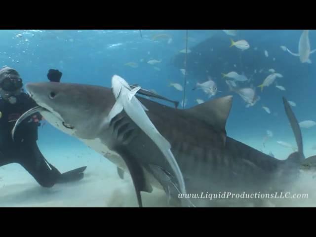 Tiger Sharks of Tiger Beach
